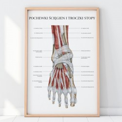 Plakat Anatomia Stopy - Ścięgna i Troczki