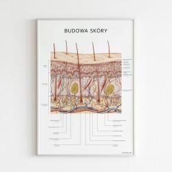 Plakat Anatomia, Budowa Skóry